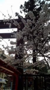 4月17日の桜② (451x800)